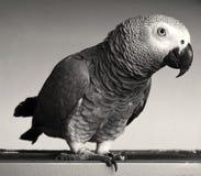 Papagaio do cinza africano Fotografia de Stock Royalty Free