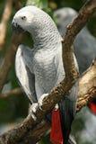 Papagaio do cinza africano - erithacus do Psittacus Fotografia de Stock