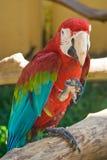 Papagaio do Macaw Foto de Stock