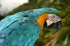 Papagaio do Macaw Imagens de Stock