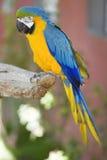 Papagaio do Macaw Fotos de Stock