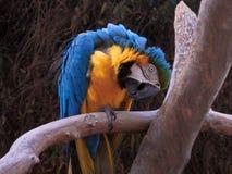 Papagaio do macaw do azul e do ouro imagem de stock