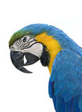 Papagaio do Macaw no branco Imagens de Stock Royalty Free