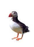 Papagaio-do-mar Fotos de Stock