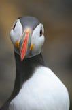 Papagaio-do-mar foto de stock