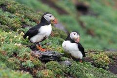 Papagaio-do-mar Imagem de Stock Royalty Free