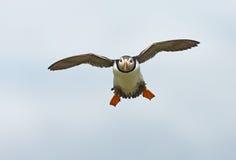 Papagaio-do-mar fotografia de stock royalty free