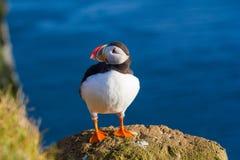Papagaio-do-mar Imagens de Stock Royalty Free