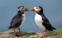 Papagaio-do-mar Foto de Stock Royalty Free