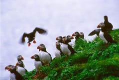 Papagaio-do-mar imagem de stock