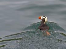 Papagaio-do-mar adornado Imagem de Stock