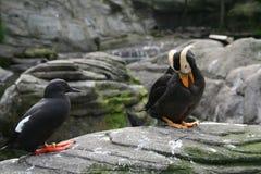 Papagaio-do-mar adornado, fotos de stock royalty free