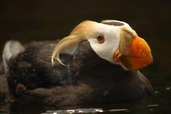 Papagaio-do-mar adornado   Foto de Stock Royalty Free