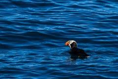 Papagaio-do-mar adornado com os peixes em seu bico fotografia de stock