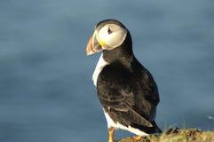Papagaio-do-mar atlântico Foto de Stock Royalty Free