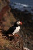 Papagaio-do-mar atlântico Fotografia de Stock Royalty Free