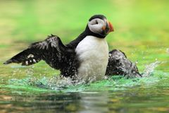 Papagaio-do-mar atlântico Imagem de Stock Royalty Free