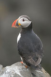 Papagaio-do-mar atlântico imagens de stock