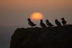 Papagaio-do-mar atlântico (arctica do fratercula) Fotos de Stock Royalty Free