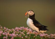 Papagaio-do-mar atlântico (arctica do Fratercula) Fotos de Stock