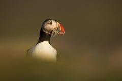 Papagaio-do-mar atlântico (arctica do Fratercula) Imagem de Stock Royalty Free