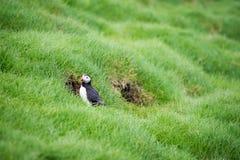 Papagaio-do-mar atlântico, arctica do fratercula Imagens de Stock
