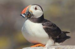 Papagaio-do-mar atlântico (arctica do Fratercula) com sandilhos Imagem de Stock