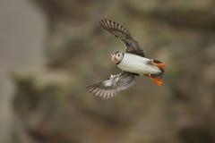Papagaio-do-mar atlântico (arctica do Fratercula) em voo Foto de Stock Royalty Free