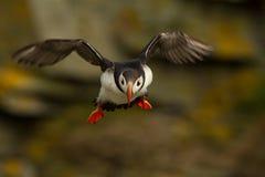 Papagaio-do-mar atlântico (arctica do Fratercula) em voo Fotos de Stock Royalty Free