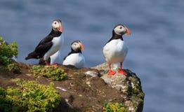 Papagaio-do-mar atlântico (arctica do Fratercula) na parte superior do penhasco Imagens de Stock Royalty Free