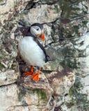 Papagaio-do-mar atlântico - arctica do Fratercula, Yorkshire, Inglaterra imagem de stock