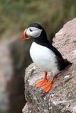 Papagaio-do-mar atlântico em Escócia Imagens de Stock Royalty Free