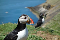 Papagaio-do-mar atlântico - ilha de Skomer Foto de Stock