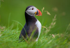 Papagaio-do-mar atlântico na grama, Islândia Fotografia de Stock Royalty Free