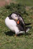Papagaio-do-mar atlântico que preening Fotografia de Stock