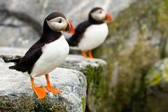 Papagaio-do-mar atlânticos Imagem de Stock Royalty Free
