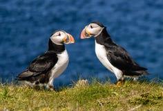 Papagaio-do-mar atlânticos Fotos de Stock