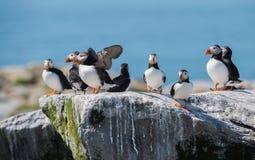 Papagaio-do-mar atlânticos Imagens de Stock