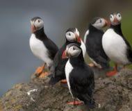 Papagaio-do-mar atlântico ou papagaio-do-mar comum Imagens de Stock Royalty Free