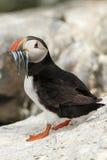 Papagaio-do-mar com em seus peixes do bico Imagens de Stock