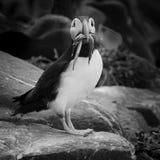Papagaio-do-mar com peixes fotografia de stock royalty free