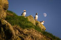Papagaio-do-mar de Mykines Fotografia de Stock Royalty Free