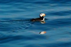 Papagaio-do-mar em Alaska Imagem de Stock Royalty Free