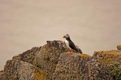Papagaio-do-mar em rochas    arctica do fratercula Fotografia de Stock Royalty Free