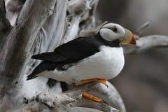 Papagaio-do-mar Horned no centro de Alaska Sealife Fotografia de Stock Royalty Free