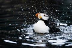Papagaio-do-mar Horned que faz um respingo grande imagens de stock