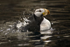 Papagaio-do-mar Horned Spashing com reflexões Alaska Fotos de Stock Royalty Free
