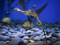 Papagaio do mar Horse Imagens de Stock