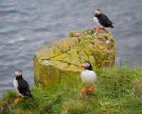 Papagaio-do-mar (Lunda) Imagem de Stock Royalty Free