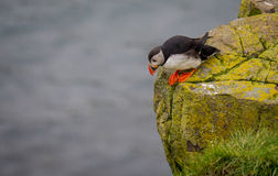 Papagaio-do-mar (Lunda) Fotografia de Stock Royalty Free
